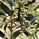 Blossoms on the Olive Tree