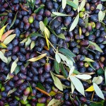 Olives picked ready for crushing